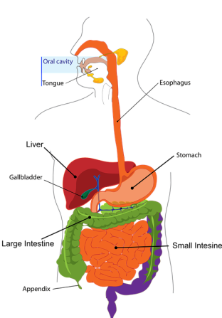 digestion-303364_960_720.png